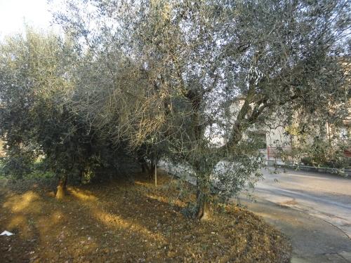 olivi